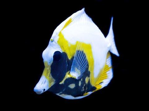 Reefs.com All About Koi / Aberrant Scopas Tang