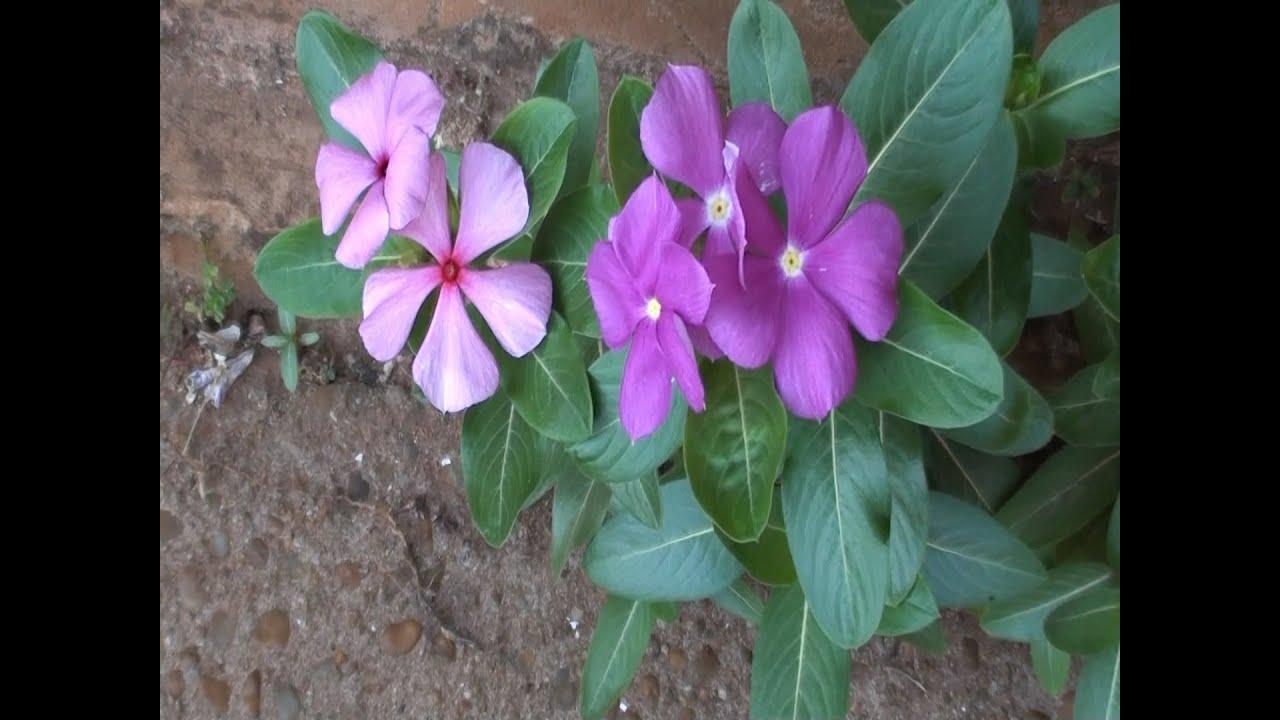 Catharanthus, Vinca-de-madagáscar, Boa-noite, Maria-sem