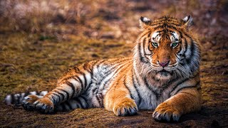 Wild Life  Tigers Documentary (Big Cats HD)