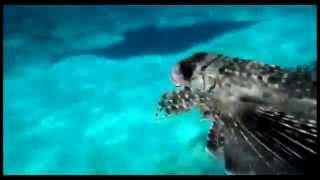 Pesca submarina , pez volador (roncador) en Formentera .