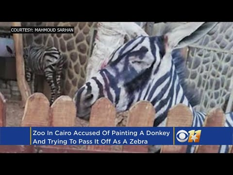 Zoo Accused Of Painting Donkey To Look Like Zebra