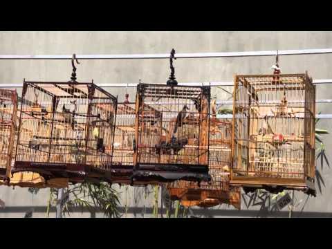 Hội thi Chim Chào Mào Buôn Ma Thuột