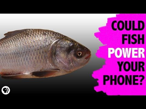 Electronics Powered By Fish Scales