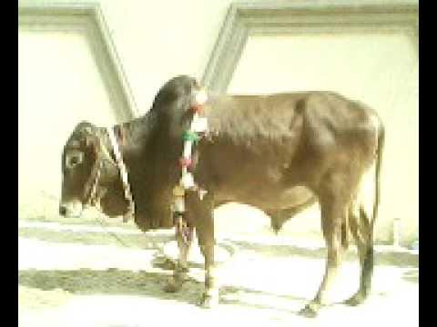 COW QURBANI 2009 - YouTubeQurbani Cow 2009