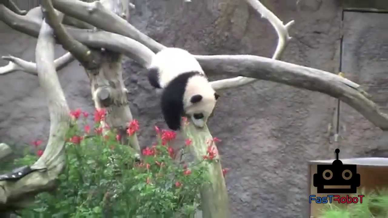adorable panda bears climbing
