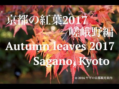 [2017]The special report on the autumn leaves in Sagano, Kyoto!