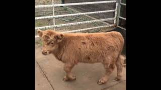 Young Highland Cow Plays with Goat