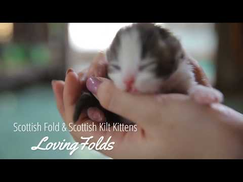 Scottish Fold & Scottish Kilt Kittens
