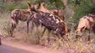 wild dog pack preparing to hunt