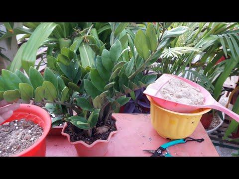 How to grow Zz Plant by Cutting || ज़ीज़ी प्लांट को कलम से कैसे लगाए