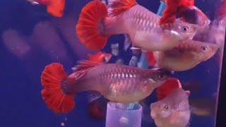 GUPPY HB Rose Size giống | Trại Cá Kiểng Diamond Da