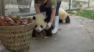 Панды против уборщицы