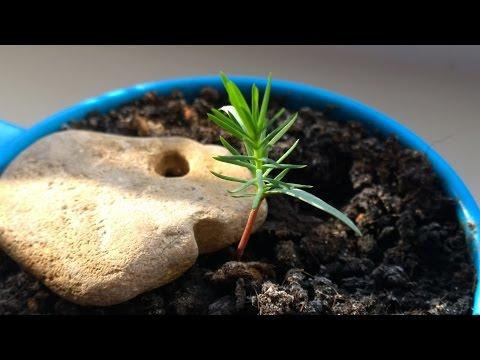 Как вырастить сосну бонсай из семян. Видео№1