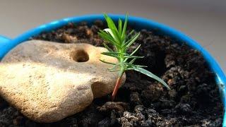 Как вырастить сосну бонсай из семян. Видео№1(Здравствуйте!Меня зовут Аня. По вопросу приобретения семян и саженцев обращайтесь по эл. адресу: anna.bonsai@yandex...., 2015-03-27T11:23:24.000Z)