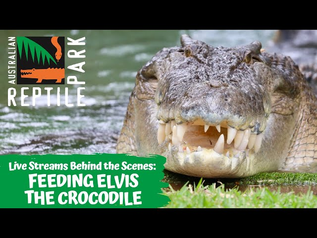 FEEDING ELVIS THE CROCODILE (GO INSIDE HIS ENCLOSURE!) | AUSTRALIAN REPTILE PARK