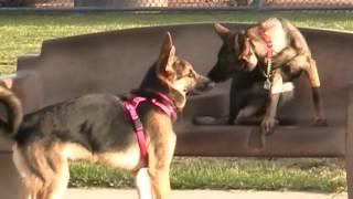 """gabby"" German Shepherd Mastering The Send Away; Las Vegas Dog Trainers"