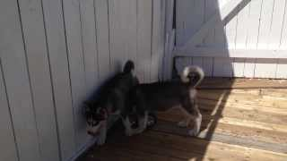 Siberian Husky Puppies ( With Blue Eyes)