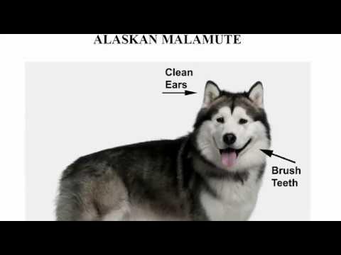 How to Groom the Alaskan Malamute, Alaskan Malamute Grooming, Alaskan Malamute Hair Style