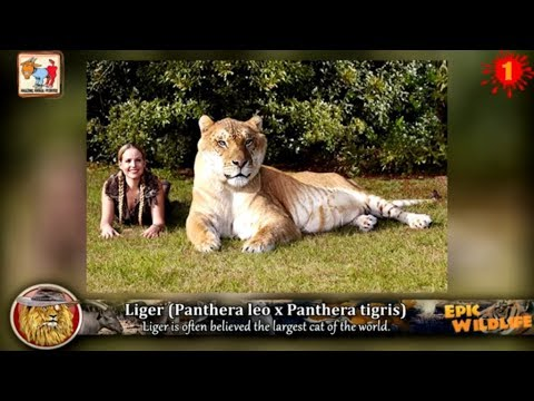 13 amazing animal hybrids youtube