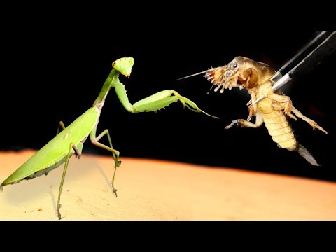 THE MYSTERIOUS AND BRUTAL BATTLE OF THE MANTIS VS THE MOLE CRICKET!