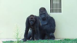 Shabani シャバーニ Gorilla family is energetic. ゴリラの家族は元気です キヨマサ、アニー、アイ、ネネ  Kiyomasa Nene Ai Annie  #192