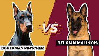 Doberman Pinscher Vs. Belgian Malinois [Which is Better?]