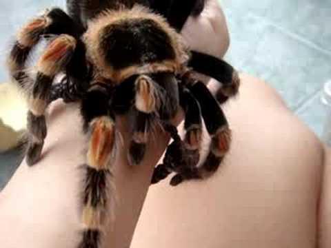 Handling Of Mexican Redknee Tarantula