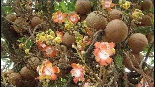 Loài cây nở hoa tuyệt đẹp nhưng không ai dám lại gần....khi biết danh tính thật sự của nó