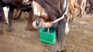 Tirando Leite da Vaca Estrela