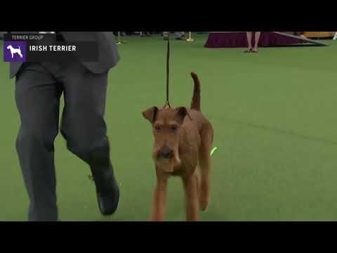 Irish Terriers | Breed Judging 2020