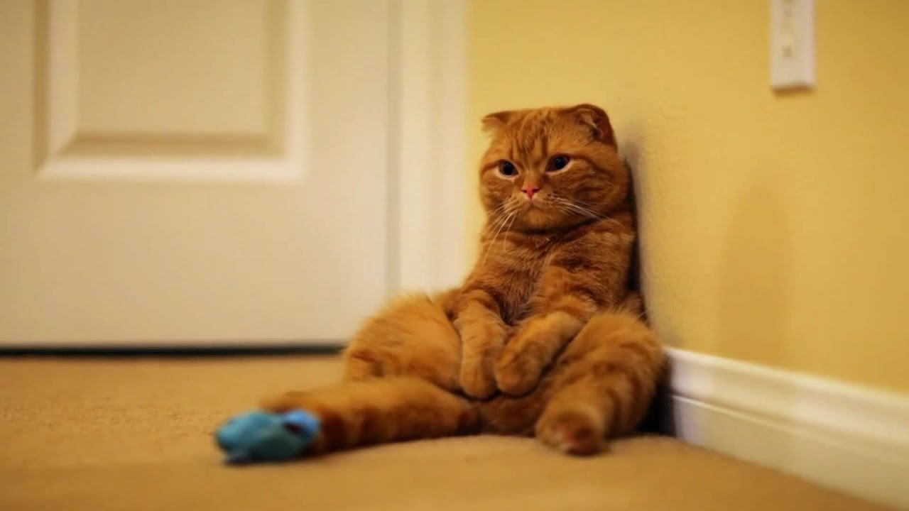 Cute Orange Kittens Wallpaper Scottish Fold Cat Dozing Off Youtube
