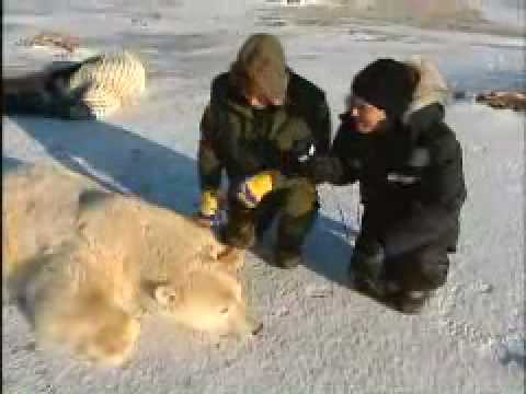 Rick Mercer Report in Churchill, Manitoba