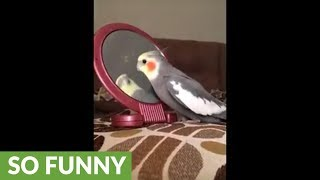 Cockatiel really hates reflection in mirror