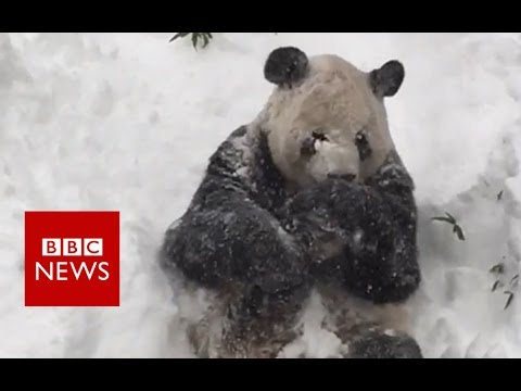 Excited Giant Panda Tian Tian enjoys Washington blizzard- BBC News