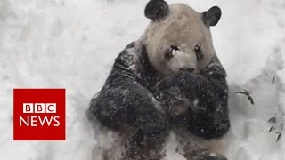 Excited Giant Panda Tian Tian enjoys Washington blizzard- BBC News(The Smithsonian National Zoo in Washington DC, has shared a video of its giant panda, Tian Tian, enjoying the snowy weather Subscribe to BBC News HERE ..., 2016-01-23T21:11:25.000Z)