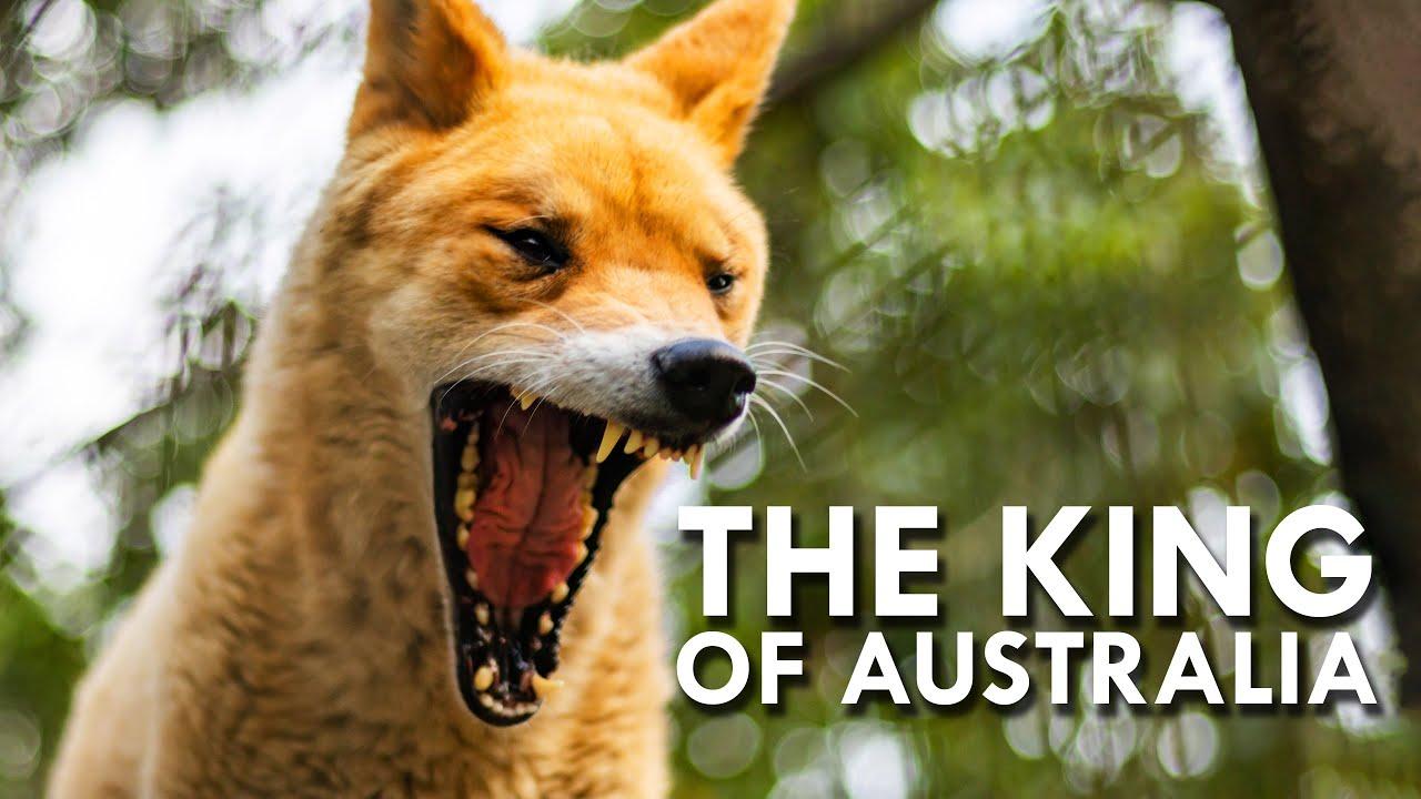 Dingo: The King of Australia