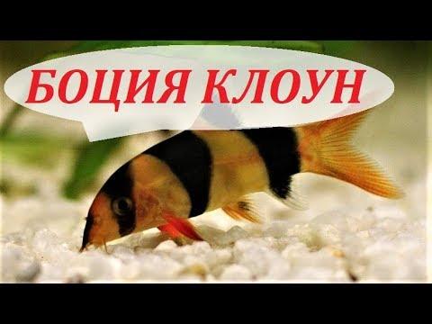 Боция клоун в аквариуме. Содержание, разведение боций, уход, совместимость, чем кормить.