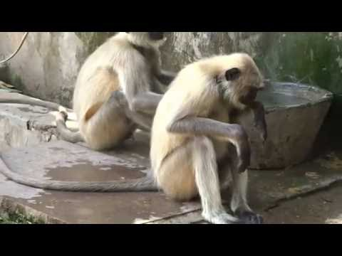 Langurs(monkeys) Of Samod Village Rajasthan India