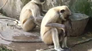 Langursmonkeys Of Samod Village Rajasthan India