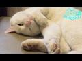 白猫「チロ」寝顔…目がイッてる⁈パトロールも大変ニャ〜…zZZ