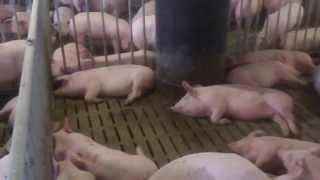Свиньи на откорме. Вентиляция из под щелевого пола