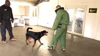 Rottweiler Zorro 9 Months Old Home Invasion