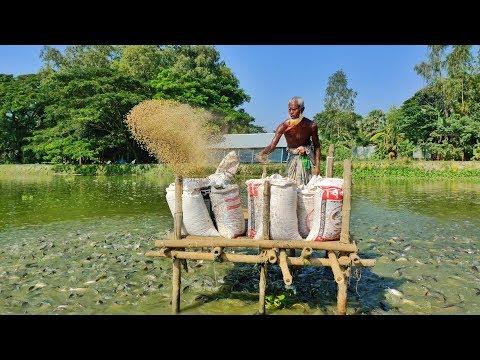 Live Pangasius Fish Feeding   Large Pangas Fish Harvesting