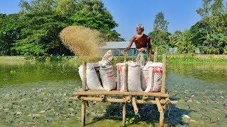 Live Pangasius Fish Feeding | Large Pangas Fish Harvesting