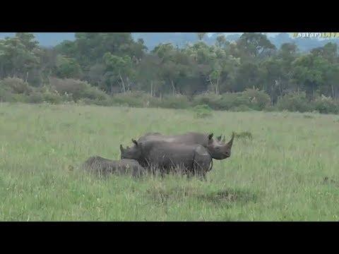 Safari Live :  Black Rhinos in the Maasai Mara with Jaime Oct 28, 2107