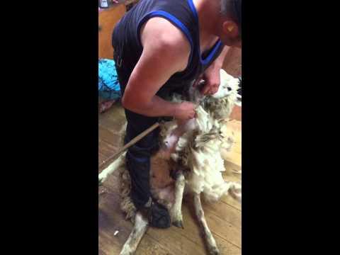 shearing in taihape n.z