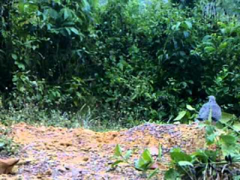 Amat Terkukur - Memikat terkukur di Teriang Pahang