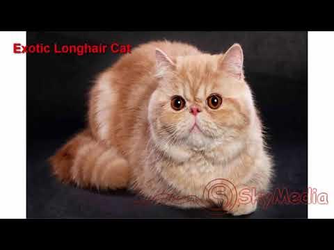 Exotic Longhair Cat