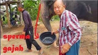 Download Video Beginilah cara mengambil sperma gajah saat kawin - Wajib anda ketahui MP3 3GP MP4
