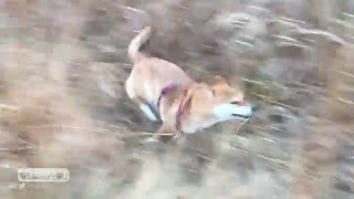 【癒し】室内飼いの柴犬を外に放したらこうなる-Shibainu days